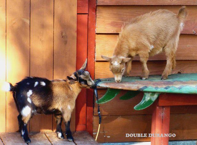 Registered Nigerian Dwarf Goats